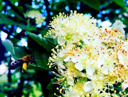 mazurska pszczoła