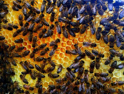 mazurskie pszczoły