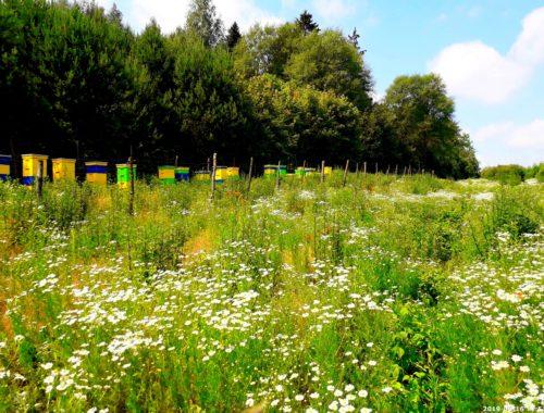 mazurskie pole